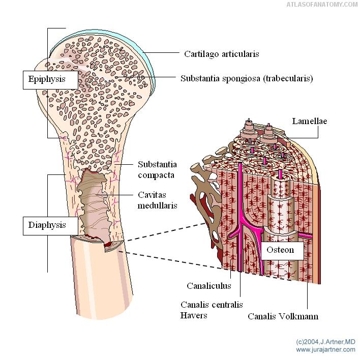 Anatomy Basics - Osteology 3