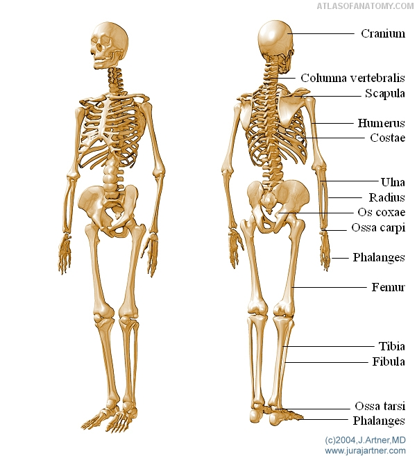 Anatomy Basics Skeleton